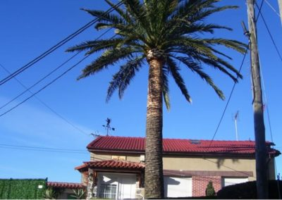poda balona palmera